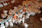 Цыплята, бройлеры