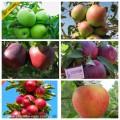Саженцы крупноплодных сортов яблонь более 50 сортов опт и розница.