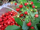 Купим ягоду земляники