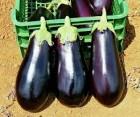 Продам семена баклажанов Алмаз, Черный Красавец. опт и розница