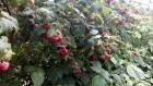 свіжа ягода малини