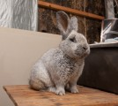 Продам кроликов породы Новозеландская Белая, Евросеребро