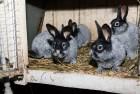 Кролики на племя БСС (Европейское серебро)