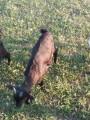 Продам породистых козликов на племя