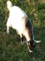 7-ми литровой Зааненской козы продается потомок