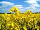 Покупаем рапс с ГМО и без