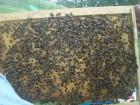 продам матки пчелиные