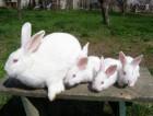 """Продам кроликов на развод """" Белый панон """" . Лучшая мясная порода"""
