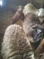 Продам овец и 2 баранов