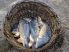 карп зеркальный, рыба живая