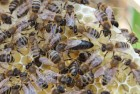 ѕродам бджоломатки