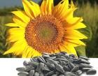 √ибриды подсолнечника семена Ќови —ад —ерби¤, Ќ— 'антази¤, Ќ— –омео