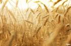 куплю пшеницу головневую - Превью изображения 1