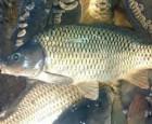 Продам живую рыбу для спортивной рыбалки, малек и товарная:
