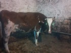 продам Айрширскую корову