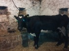 Холмогорская корова