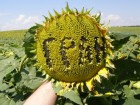Насіння від виробника: соняшник, кукурудза, цукровий буряк