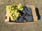 свежий столовый виноград
