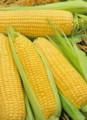 Предлагаю семена  Айова свит сортовая  кукуруза