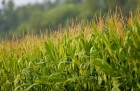 Семена кукурудзы на зерно Ривэра