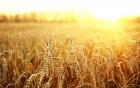 На постоянной основе куплю пшеницу 2, 3, 6 класса
