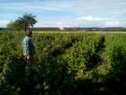 саженцы малины поляна 2 грн