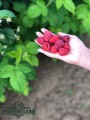 Саженцы (саджанці) ремонтантной малины сорт Маравилла (Марабелла)