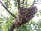 Продам бджоли ! (Рої)