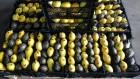 Лимоны - предложение от компании с Египта