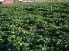 Продам саженцы, рассаду клубники непрерывного плодоношения Монтеррей