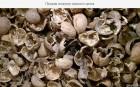 —корлупа грецкого ореха