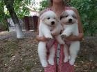 ўенки пиренейской горной собаки