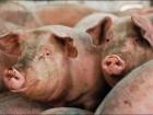 продам домашние свиньи количество голов 13