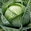 Продам капусту білоголову пізню (Муксума, Анкома)