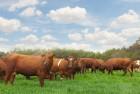 Куплю каров и быков дорого от 30 галов