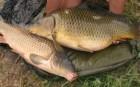 продам живую рыбу малька и товарную.