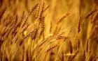 Купим ячмень, пшеницу, горох