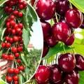 —аженцы колоновидных деревьев ¤блони, груши, черешн¤ алыча, слива .