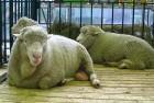 Куплю овец породы Меринос !