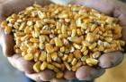 Производим закупку кукурузы по хорошей цене, по всей Украине