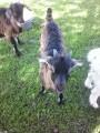 Продам Альпийских козлят