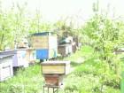 Продам пчелопакеты 2019 год. Карпатка, 4-х рам, дадан.