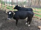 Продаются телочки от высокопродуктивных молочных коров