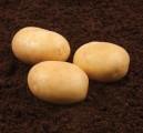 Семенной картофель  (Голландия)