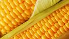 Закупаем на постоянной основе «Кукурузу»