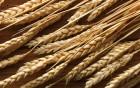 Закупаем на постоянной основе «Пшеницу продовольственную (2,3 класс)»