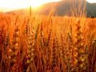 Закупаем на постоянной основе «Пшеницу фуражную(6 класс)»