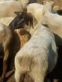 Продам вівці суффолк, стадо 400 голів
