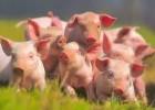 Куплю свиней живым весом