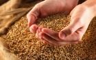 Насіння пшениці Самурай